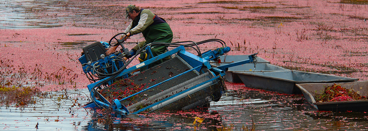 cranberry picker leaning in a ditch with cranberries floating around