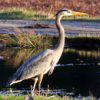 great blue heron by a cranberry bog