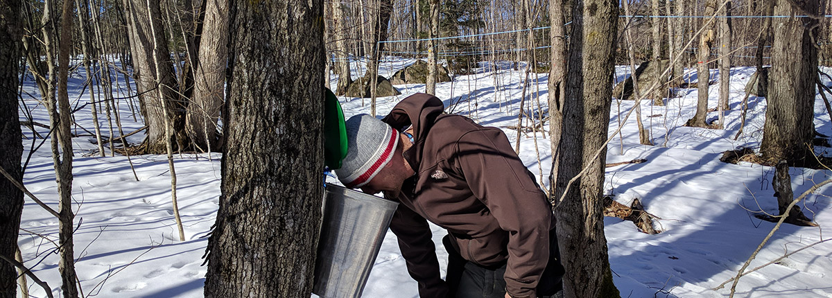 man looking into a sap bucket attached to a tree