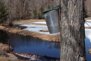 sap bucket hanging on a tree