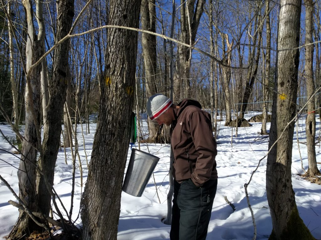 man in the woods looking into a maple sap bucket that's attached to a tree